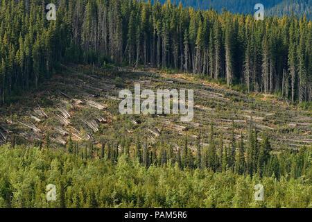 Ein schnitt Block im Wald von Alberta, Kanada, wo die Bäume geerntet wurden, aber noch nicht an die Säge transportiert - Stockfoto