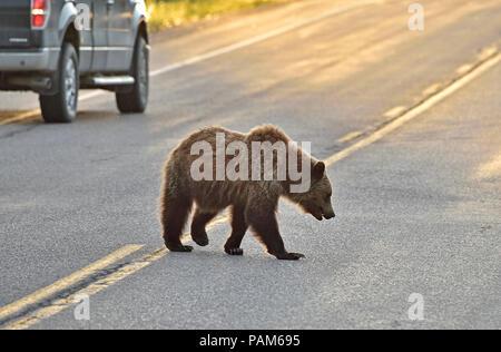 Ein junger Grizzlybär (Ursus arctos); zu Fuß auf der Landstraße in Alberta, Kanada - Stockfoto