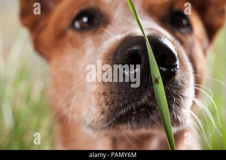 Castor Bean Zecke (Ixodes ricinus). Frau auf einem Grashalm mit Australian Cattle Dog im Hintergrund. Deutschland - Stockfoto