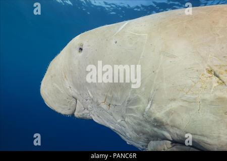 Portrait von dugong oder Seekuh (Dugong dugon) schwimmt unter der Oberfläche des blauen Wasser - Stockfoto