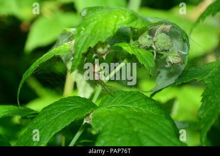 Spinne im Netz mit spider Babies in grüner Natur - Stockfoto