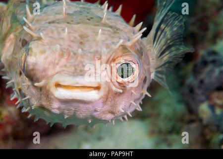 Dieses abgerundete porcupinefish, Cyclichthys orbicularis, auch bekannt als Stacheligen Kugelfische, ist nachtaktiv. Während des Tages ist in der Regel in grossen Schwämmen häuten, - Stockfoto