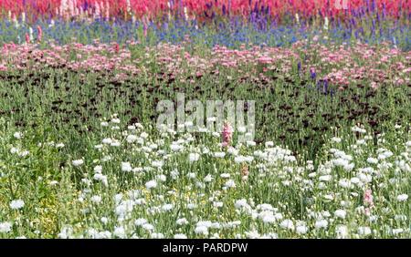Felder von Blumen für Konfetti in der Nähe von Weida in England angebaut. - Stockfoto