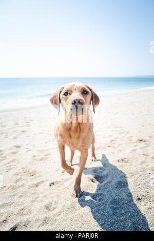 Einen gelben Labrador Retriever Hund stehend auf einem sunkissed Strand mit einem Bein angehoben bereit im Urlaub zu spielen und in Sand bedeckt - Stockfoto