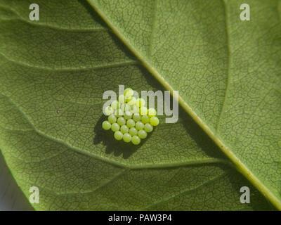 Nahaufnahme einer Gruppe von grün Insekt (Falter oder Schmetterling) Eier unter einem Blatt - Stockfoto