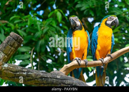 Ein paar Papageien - Stockfoto