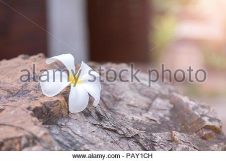 Weiß plumeria auf dem Felsen - Stockfoto