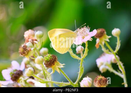 Closeup Seitenansicht eines Pieris brassicae, die große weiße oder Kohl Schmetterling auf einer Blume bestäuben. - Stockfoto