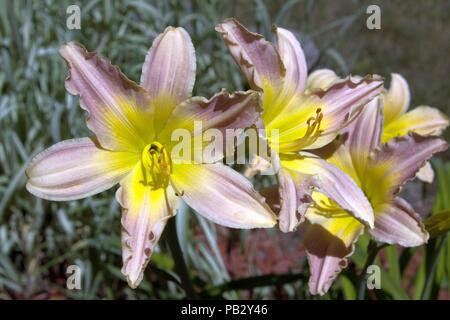 Eine Nahaufnahme von rosa und gelben Taglilien Blühen - Stockfoto