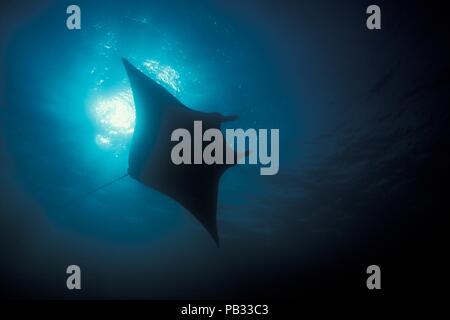 Reef Manta Ray, Riffmanta, Mobula alfredi, Embudu, Manta Point, Malediven, Malediven - Stockfoto