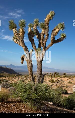 UT 00490-00... UTAH - Joshua Tree in der Woodbury Wüste Studie, Teil der Beaver Dam Wash National Conservation Area am Rand der Mojave - Stockfoto