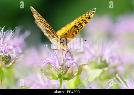 Bunte Fritillary, Euptoieta Claudia, Schmetterling am Lavendel Biene Balsam, Monarda, Blumen, Yarmouth Gemeinschaft garten, Maine, USA