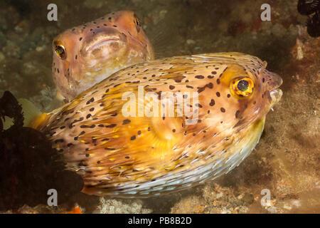 Die longspined porcupinefish, Diodon holocanthus oder Sommersprossige porcupinefish, verwenden Sie ihren Schnabel mit Platten auf dem Dach der Mund kombiniert zu zerschlagen die - Stockfoto