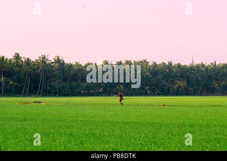Ein indischer Bauer zu Fuß durch ein Reisfeld hinter einer Kirche - Stockfoto