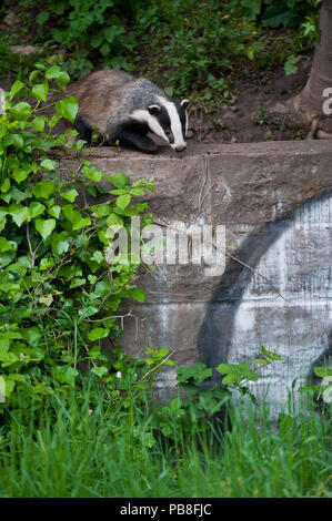 Eurasischen/Europäischen Dachs (Meles meles) außerhalb von städtischen Sett hinter der Wand mit Graffiti, Bristol, Großbritannien - Stockfoto