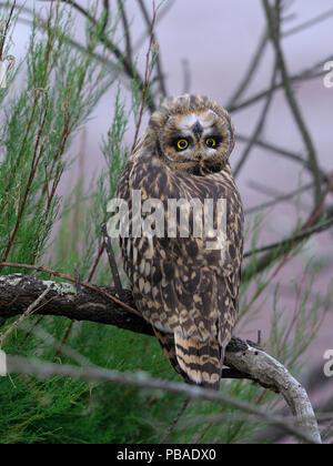 Short eared owl (Asio Flammeus) Kopf mit der Oberseite nach unten und nach hinten neigen, bretonischen Sumpf, West Frankreich, Juni - Stockfoto