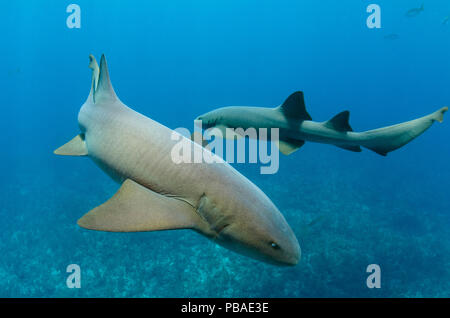 Ammenhai (Ginglymostoma cirratum) Hol Chan Marine Reserve, Belize Barrier Reef, Belize. - Stockfoto