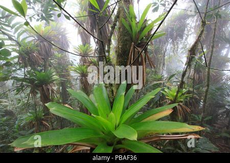 Bromeliaceae bromelien monocot bl hende pflanzen festung kuelap provinz amazonas peru - Epiphyten zimmerpflanze ...