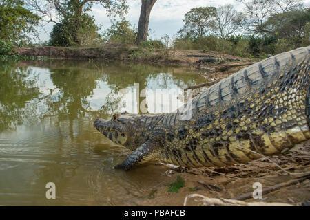 Spectacled Kaimane (Caiman crocodilus) Wasser, Mato Grosso, Pantanal, Brasilien. - Stockfoto
