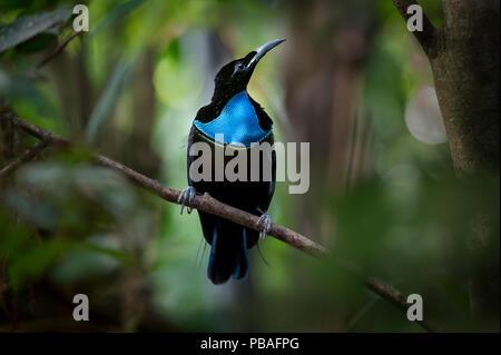 Knurren riflebird (Ptiloris intercedens) männlich, Adelbert-Gebirge, Provinz Madang, Papua Neu Guinea. Endemisch. - Stockfoto