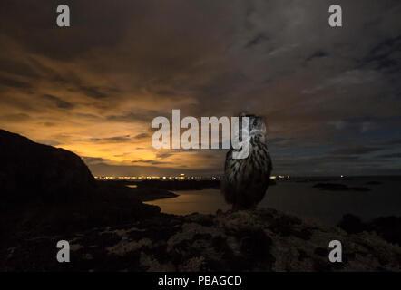 Eurasischen Uhu (Bubo bubo) vor der Lichter von Stavanger bei Sonnenuntergang, im südlichen Norwegen, September. - Stockfoto