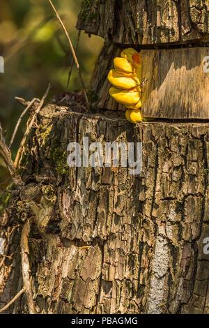 Gelbe Pilze auf girdled Baum, wo die Rinde werden sollte. Halterung Pilze oder Regal Pilze wächst in verschiedenen Größen Tiers und größer als dieser neuen. - Stockfoto