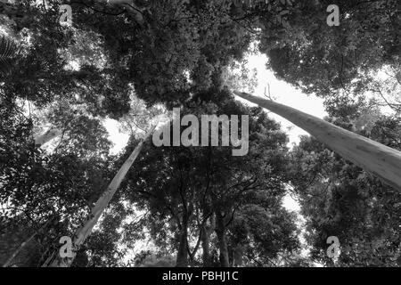 Rainforest Canopy oben stürzender Linien von Eukalyptus Baumstämme in Schwarz und Weiß - Stockfoto
