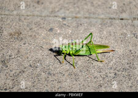 Die große Green Bush Cricket - Stockfoto