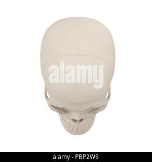 Anatomisch korrekten medizinischen Modell der weiblichen menschlichen Schädel auf Weiß. 3D-Darstellung - Stockfoto