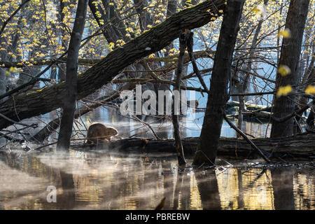 Biber (Castor canadensis) mitgeführt und auf einem Baumstamm und St. Croix River bei flutstadium, MN, USA, Mitte Mai, von Dominique Braud/Dembinsky Foto Assoc - Stockfoto