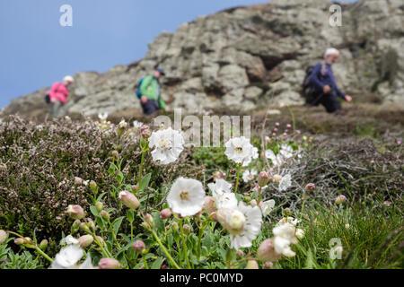 Weiße Blumen Meer Campion (Silene maritima) wächst auf einer Klippe unten Küstenweg mit Wanderern zu Fuß im Frühling. Carmel Kopf ISLE OF ANGLESEY Wales UK - Stockfoto