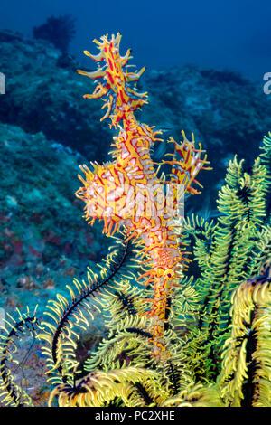 Diese weibliche verzierten Geisterfetzenfische, auch als Harlekin Geisterpfeifenfisch bekannt, Solenostomus paradoxus, hält es ei Masse in die Tasche, die für ist - Stockfoto