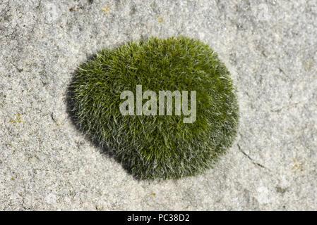 Gametophyte cusion der Wand verschrauben - Moos, Tortula muralis, wächst an einem großen Stein sarson, Berkshire, März - Stockfoto