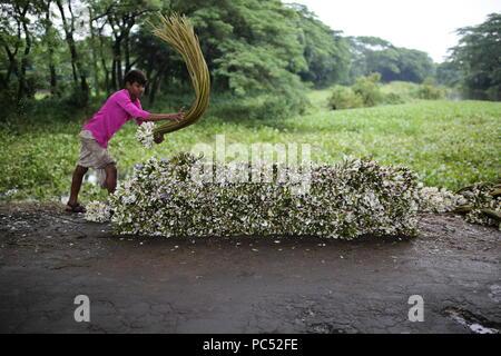 Dhaka, Bangladesch - Juli 27, 2018: Bangladesch Landwirte sammeln Seerosen aus Feuchtgebiet auf den Markt in Munshigonj verkaufen, in der Nähe von Dhaka, Bangladesch am 27. Juli 2018. Etwa 60-70% der Bevölkerung von der Landwirtschaft abhängig, wie die 166 Millionen Menschen in Bangladesch leben. Das Land erhebliche Fortschritte in den letzten 10 Jahren und etwa 22 Millionen Menschen leben noch immer unter der Armutsgrenze nach Berichten. Bangladesch ist das Land feiert 50 Jahre Geburtstag im Jahr 2021. - Stockfoto
