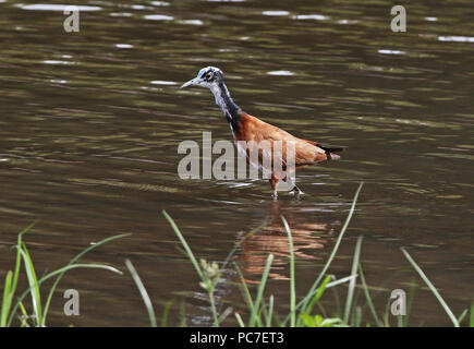 Madagaskar Jacana (Actophilornis albinucha) unreife Waten in See, Lac Ravelobe madagassischen endemisch, Ampijoroa Wald Station, Ankarafantsika Reser - Stockfoto