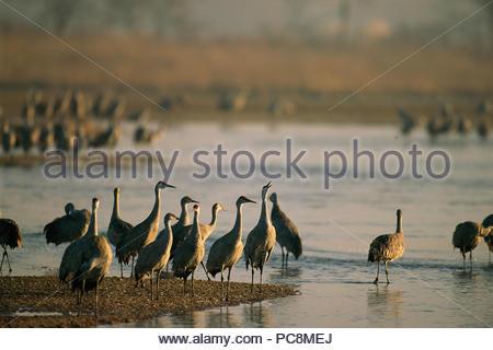 Sandhill cranes roost auf der Platte River. - Stockfoto
