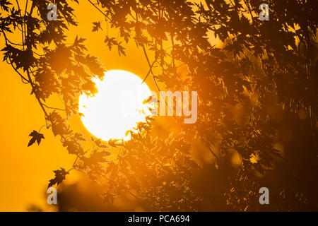 Silber Ahorn (Acer saccharinum) gegen die untergehende Sonne, Mittelwesten, USA Silhouette, von Dominique Braud/Dembinsky Foto Assoc - Stockfoto