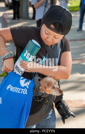 Hundehalter trägt Ihr Chihuahua-Terrier mix Hund in einer Umhängetasche beim Gehen in Laguna Beach, CA, Park. (Foto von Spencer Grant) - Stockfoto