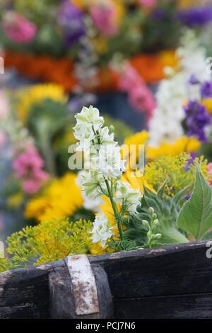 Delphinium weiß auf einer Gärtnerei Schaugarten am RHS Tatton Park Flower Show 2018, Cheshire, Großbritannien - Stockfoto