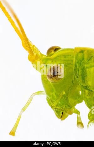 Schwerpunkt in der Nähe gestapelt der Kopf einer grünen Grass Hopper, Seitenansicht, auf weißem Hintergrund - Stockfoto