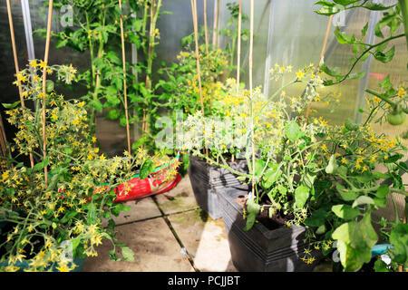 Tomatenpflanzen Wachsende Tomaten Gewachshaus Tomaten Grune