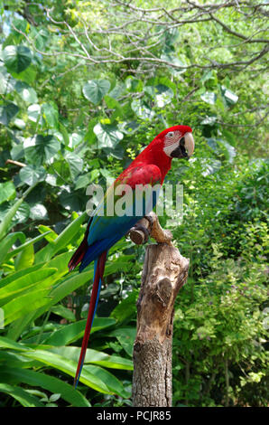 """Green-Winged Ara. """"Papagei Sprechen"""" Programm an der South Texas Botanischen Gärten und Natur Center in Corpus Christi, Texas USA. - Stockfoto"""