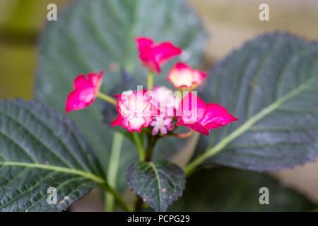 Hydrangea Macrophylla, dunkle Engel rot - Stockfoto