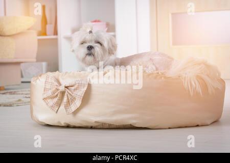 Nette junge Malteser Festlegung auf seinem Bett zu Hause - Stockfoto