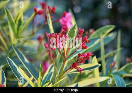 Rosa Rot anlage Nahaufnahme, Nerium oleander Apocynaceae - Stockfoto