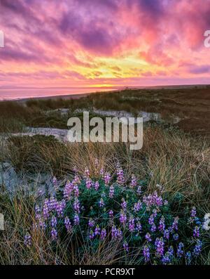 Sonnenuntergang, Lupine, Limantour Strand, Point Reyes National Seashore, Kalifornien, Marin County, Kalifornien - Stockfoto