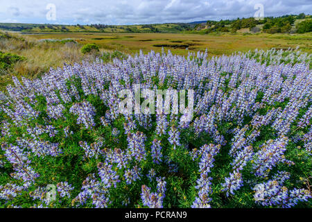 Blaue Lupine, Lupinus angustifolius, Limantour Estero, Point Reyes National Seashore, Marin County, Kalifornien - Stockfoto