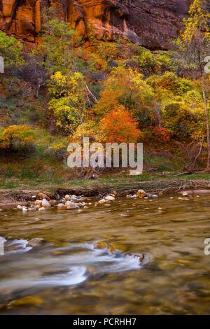 Farben des Herbstes im Zion National Park entlang des Virgin River am Temple of Sinawava. - Stockfoto
