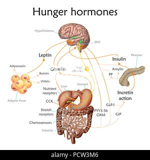 Appetit und Hunger Hormone, Illustration. - Stockfoto