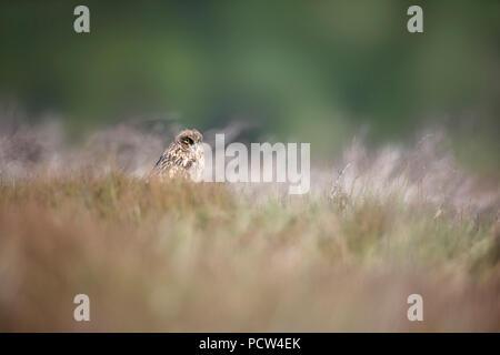 Junge lange eared owl im Gras - Stockfoto